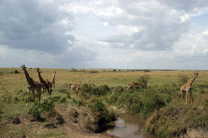 jirafas en laguna