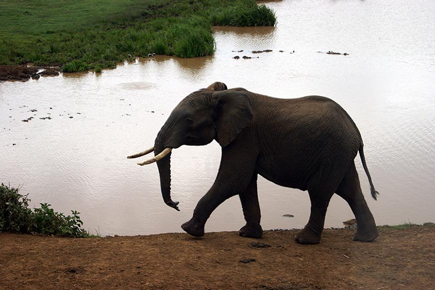 elefante en la laguna